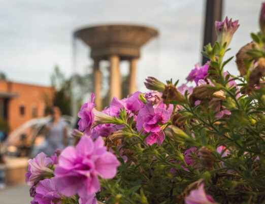 freshly bloomed pink flowers in focus with monument in background